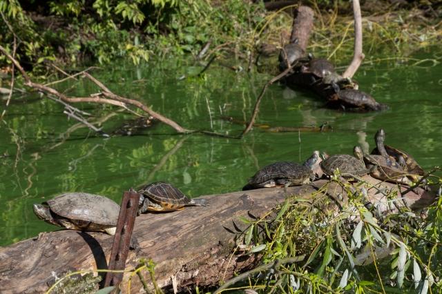 Les tortues de Central Park