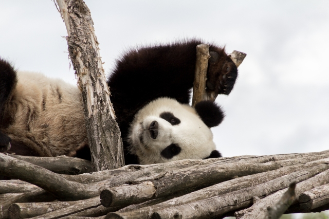 Panda géant de Pairi Daiza