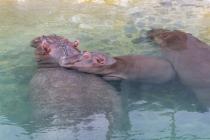Famille hippopotame - Pairi Daiza