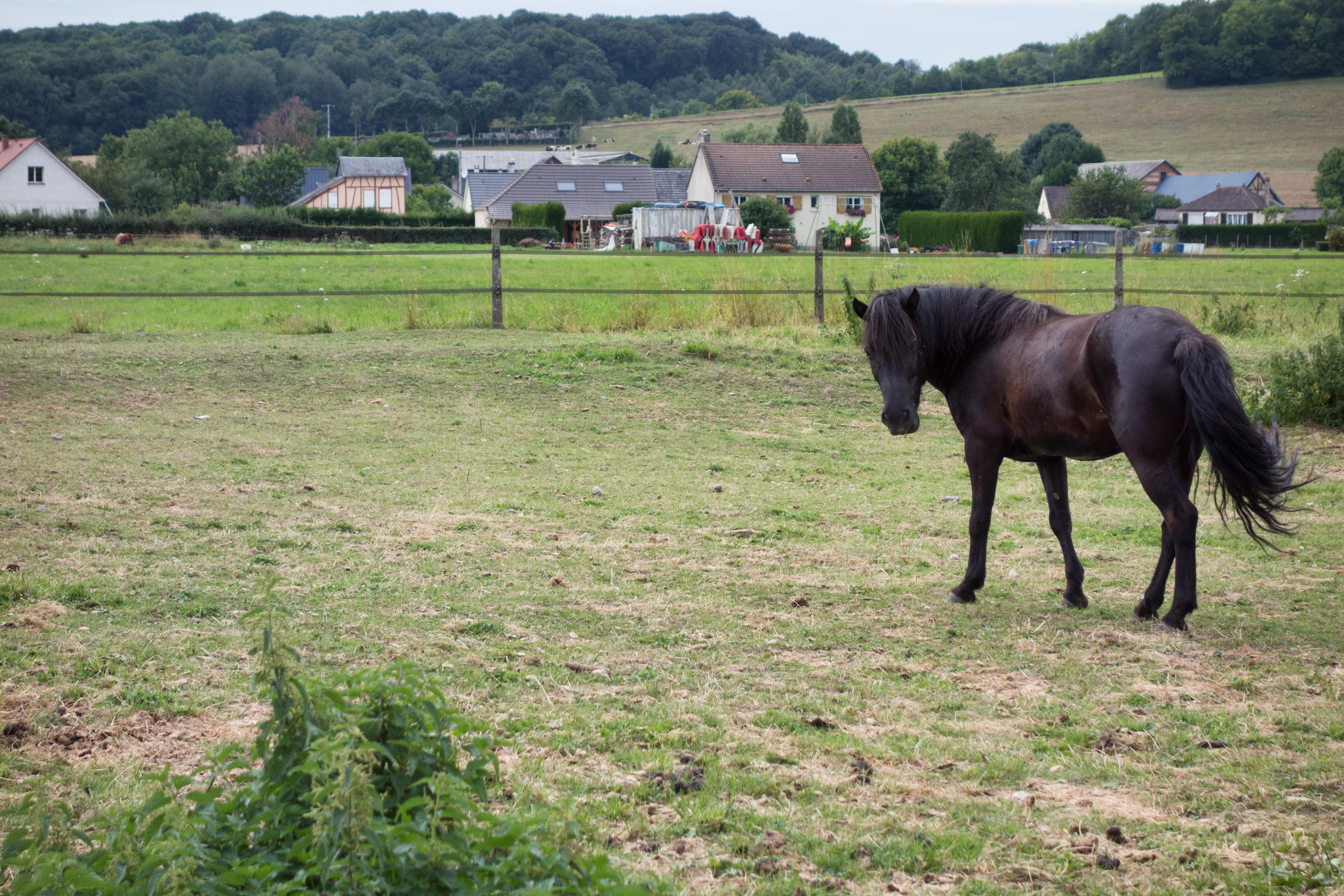 Gaska, cheval islandais de l'Épicurie
