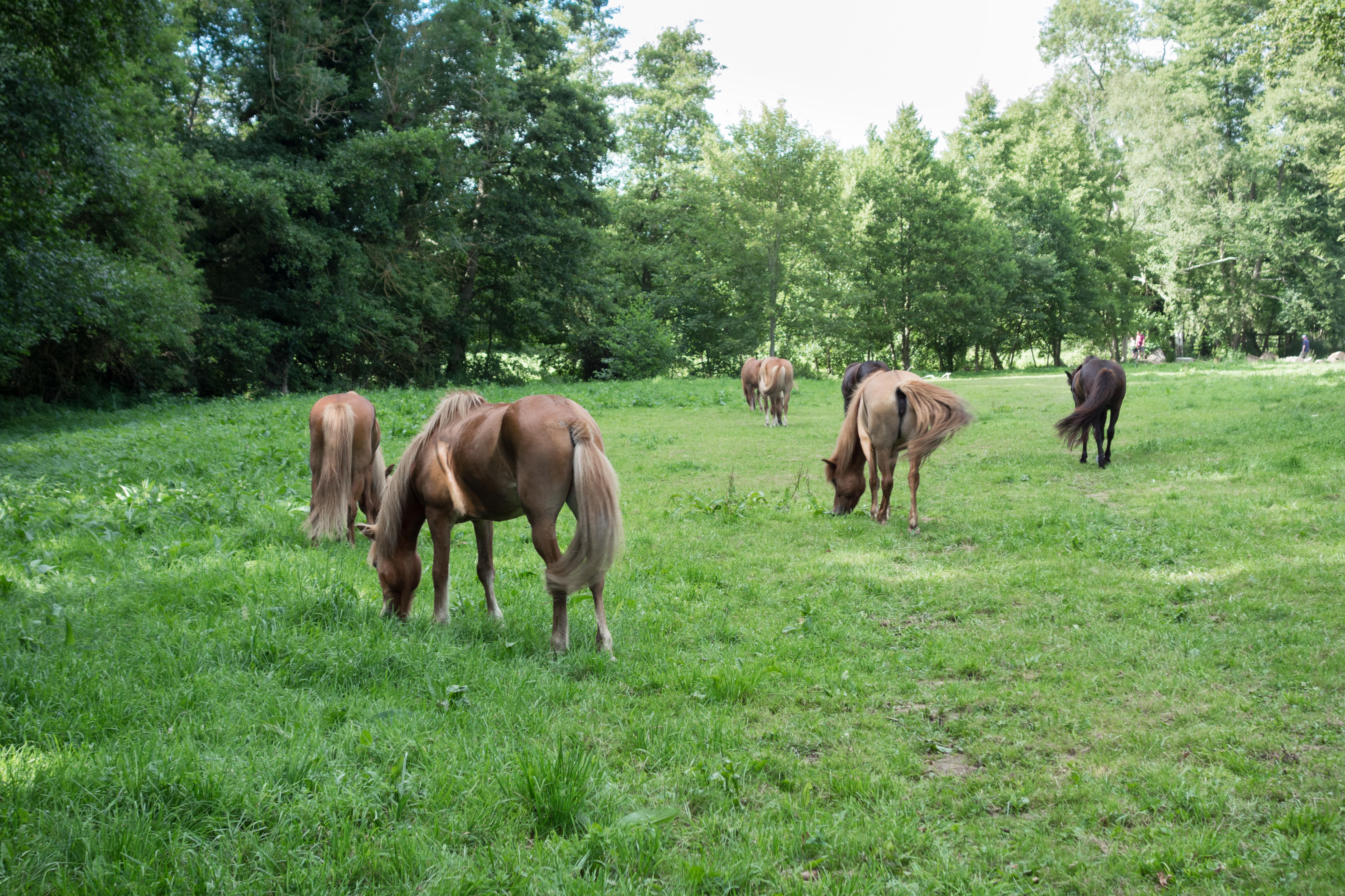 Les chevaux islandais de l'Épicurie